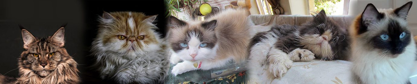 Persian Cat Rescue & Other Breeds